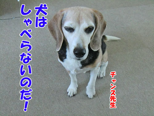 チャンスとティアラ+ココ-20121220-5-500.jpg