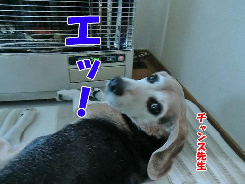 チャンスとティアラ+ココ-20121222-1-500.jpg