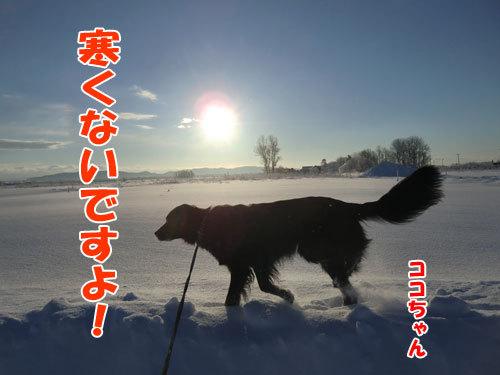 チャンスとティアラ+ココ-20121222-3-500.jpg