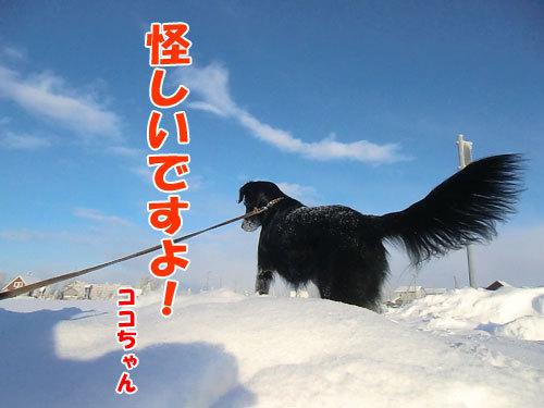 チャンスとティアラ+ココ-20121222-4-500.jpg