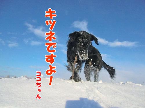 チャンスとティアラ+ココ-20121222-5-500.jpg