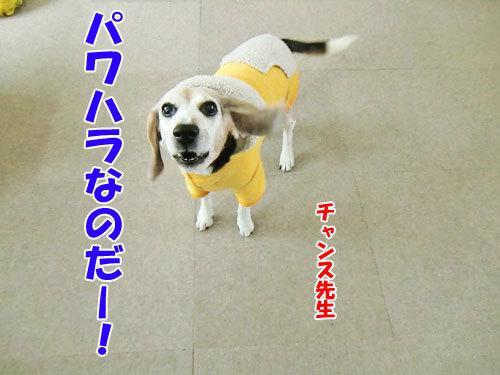 チャンスとティアラ+ココ-20121224-3-500.jpg