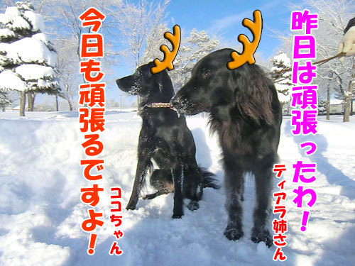 チャンスとティアラ+ココ-20121225-1-500.jpg