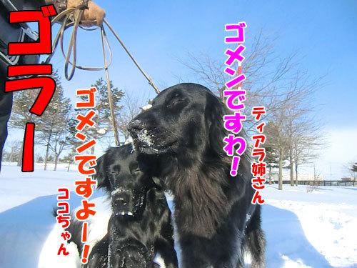 チャンスとティアラ+ココ-20121228-6-500.jpg