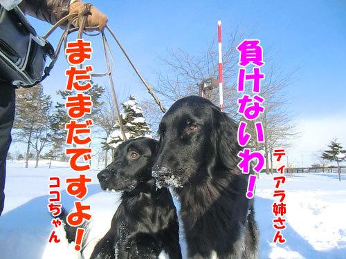 チャンスとティアラ+ココ-20121228-7-500.jpg