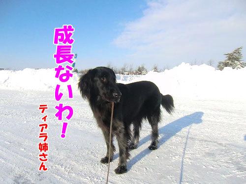 チャンスとティアラ+ココ-20121229-2-500.jpg