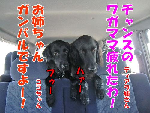チャンスとティアラ+ココ-20121231-7-500.jpg