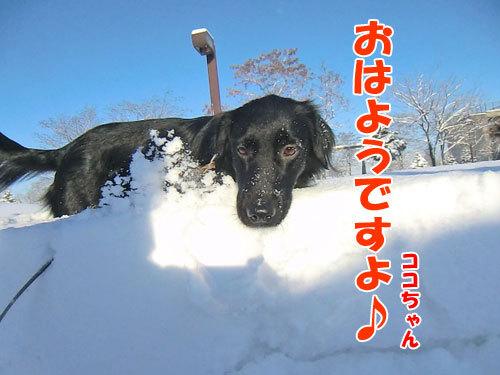 チャンスとティアラ+ココ-20130114-1-500.jpg