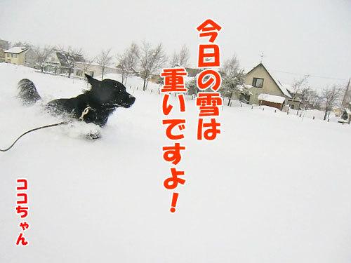 チャンスとティアラ+ココ-20130122-1-500.jpg