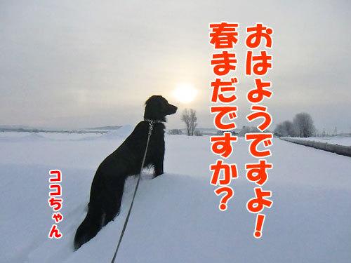 チャンスとティアラ+ココ-20130123-1-500.jpg