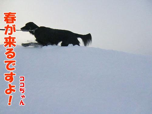チャンスとティアラ+ココ-20130123-3-500.jpg