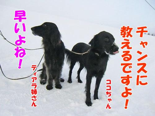 チャンスとティアラ+ココ-20130123-4-500.jpg