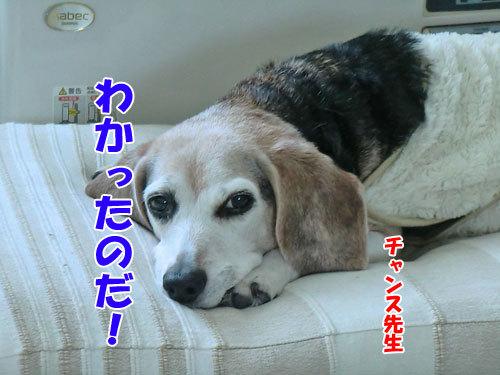チャンスとティアラ+ココ-20130124-1-500.jpg