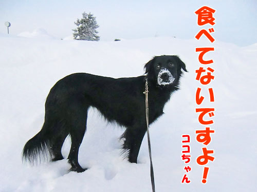 チャンスとティアラ+ココ-20130125-5-500.jpg