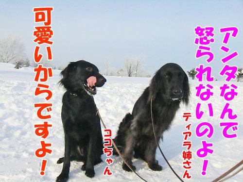 チャンスとティアラ+ココ-20130125-6-500.jpg