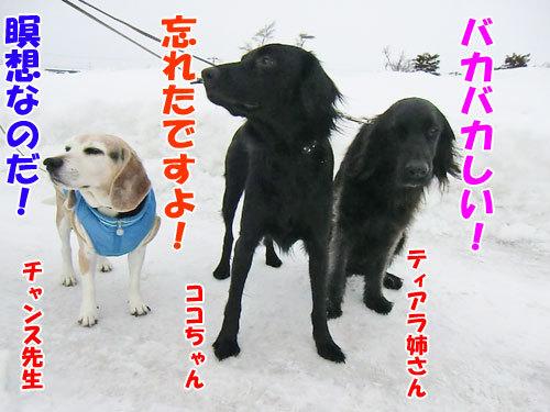 チャンスとティアラ+ココ-20130126-2-500.jpg
