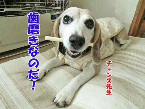 チャンスとティアラ+ココ-20130127-1-500.jpg