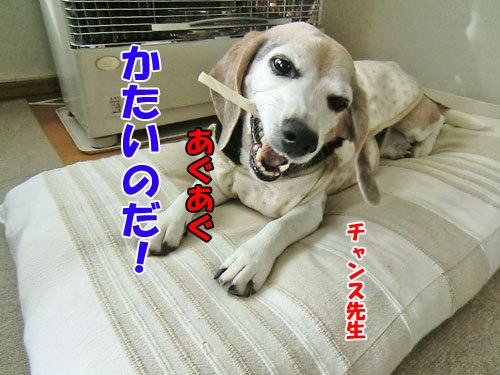 チャンスとティアラ+ココ-20130127-2-500.jpg