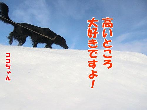 チャンスとティアラ+ココ-20130128-2-500.jpg