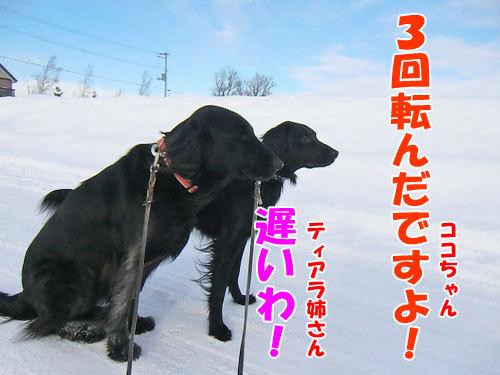 チャンスとティアラ+ココ-20130128-3-500.jpg
