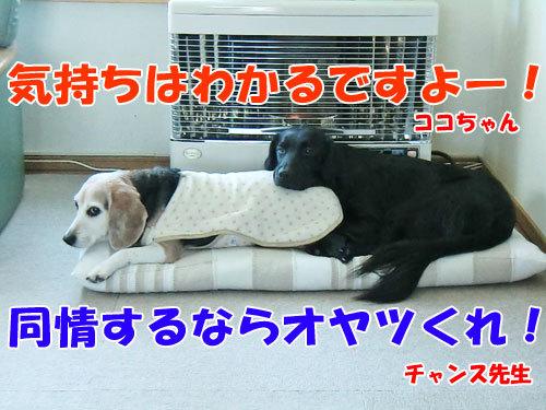 チャンスとティアラ+ココ-20130128-6-500.jpg