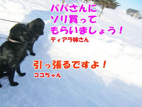 チャンスとティアラ+ココ-20130129-5-500.jpg