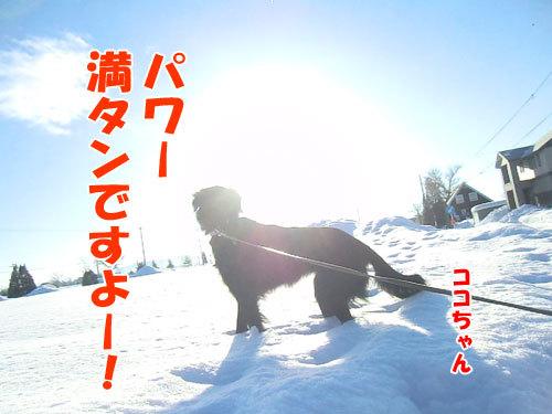 チャンスとティアラ+ココ-20130130-3-500.jpg