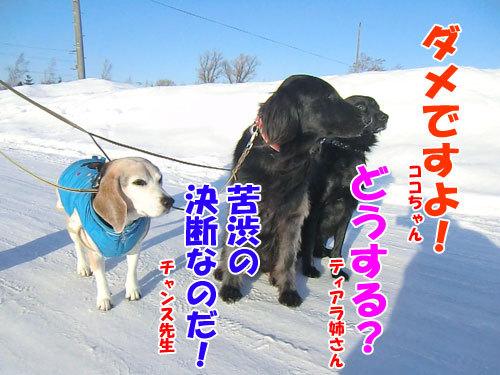 チャンスとティアラ+ココ-20130130-6-500.jpg