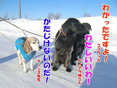 チャンスとティアラ+ココ-20130130-7-500.jpg
