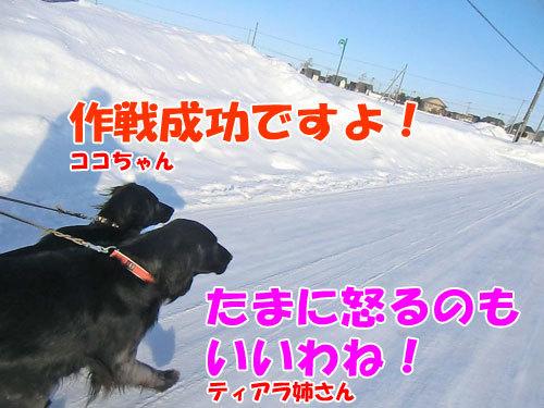 チャンスとティアラ+ココ-20130130-8-500.jpg