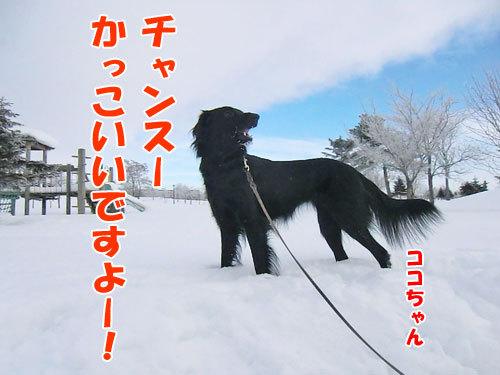 チャンスとティアラ+ココ-20130131-4-500.jpg