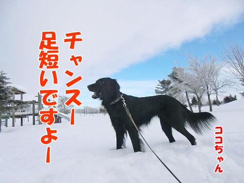 チャンスとティアラ+ココ-20130131-5-500.jpg