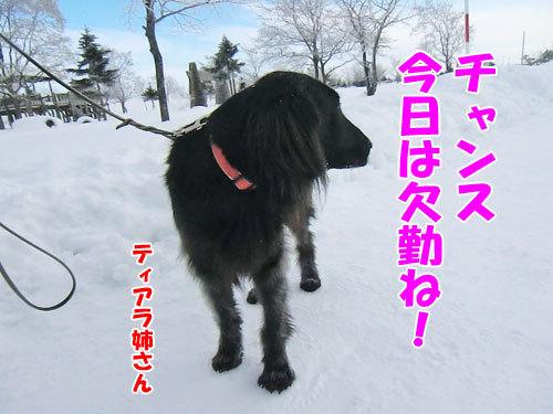 チャンスとティアラ+ココ-20130131-7-500.jpg