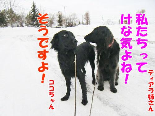 チャンスとティアラ+ココ-20130201-3-500.jpg