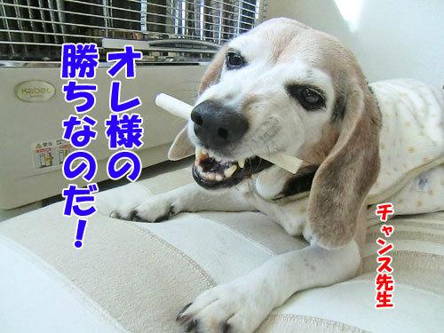 チャンスとティアラ+ココ-20130202-5-500.jpg