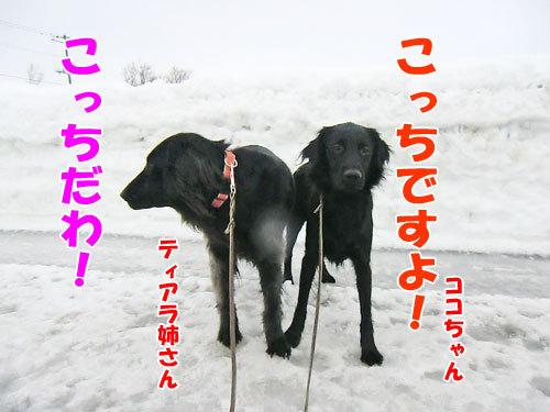 チャンスとティアラ+ココ-20130203-3-500.jpg