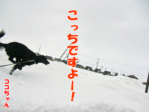 チャンスとティアラ+ココ-20130203-4-500.jpg