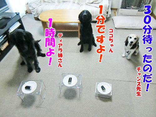 チャンスとティアラ+ココ-20130204-1-500.jpg