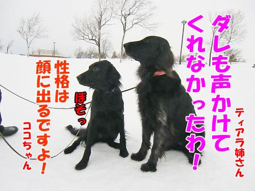 チャンスとティアラ+ココ-20130205-5-500.jpg