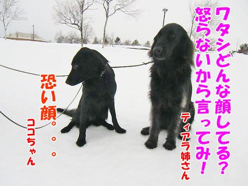 チャンスとティアラ+ココ-20130205-6-500.jpg