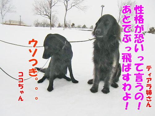 チャンスとティアラ+ココ-20130205-7-500.jpg