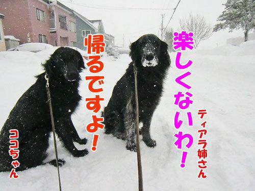 チャンスとティアラ+ココ-20130206-5-500.jpg