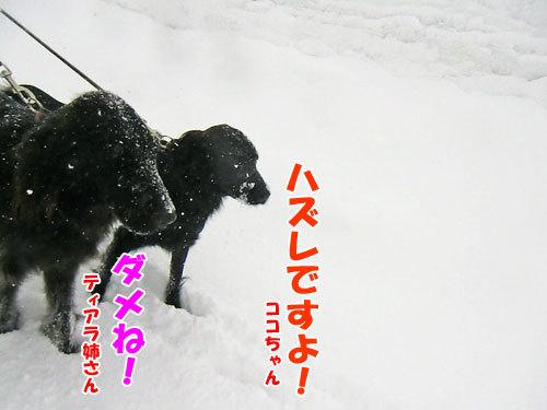 チャンスとティアラ+ココ-20130206-8-500.jpg