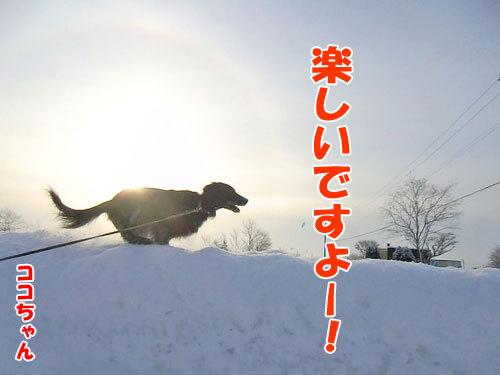 チャンスとティアラ+ココ-20130207-3-500.jpg
