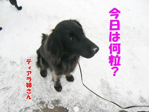 チャンスとティアラ+ココ-20130208-6-500.jpg