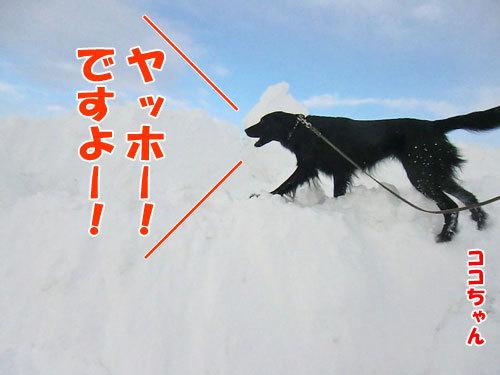 チャンスとティアラ+ココ-20130210-1-500.jpg