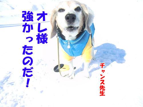 チャンスとティアラ+ココ-20130212-1-500.jpg