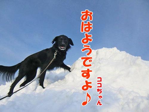 チャンスとティアラ+ココ-20130212-3-500.jpg