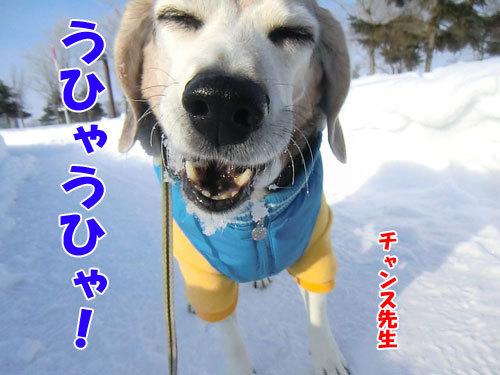 チャンスとティアラ+ココ-20130213-1-500.jpg