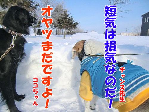 チャンスとティアラ+ココ-20130213-5-500.jpg